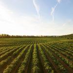 A field of crops basked in sunlight